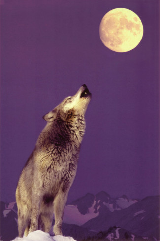gray-wolf-howling-at-moon